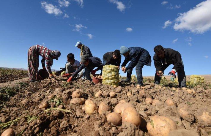 patates-toplamak